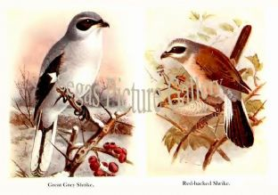 Great Grey Shrike & Red-backed Shrike